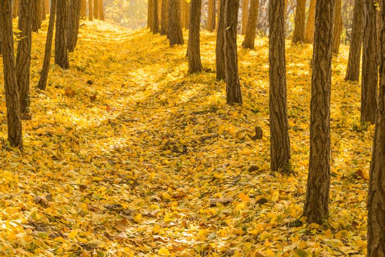 은행잎 황금길
