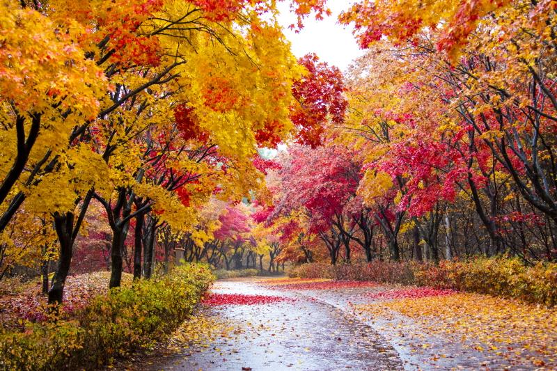 비가 오는 단풍나무길