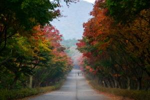 단풍나무길의 아름답고 풍성한 모습